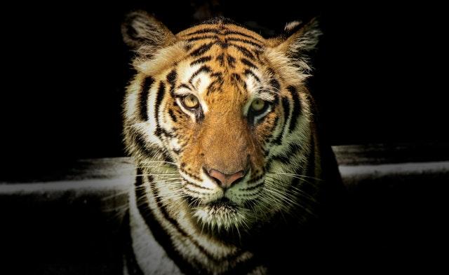 Night Tigers, Dreams, andMore